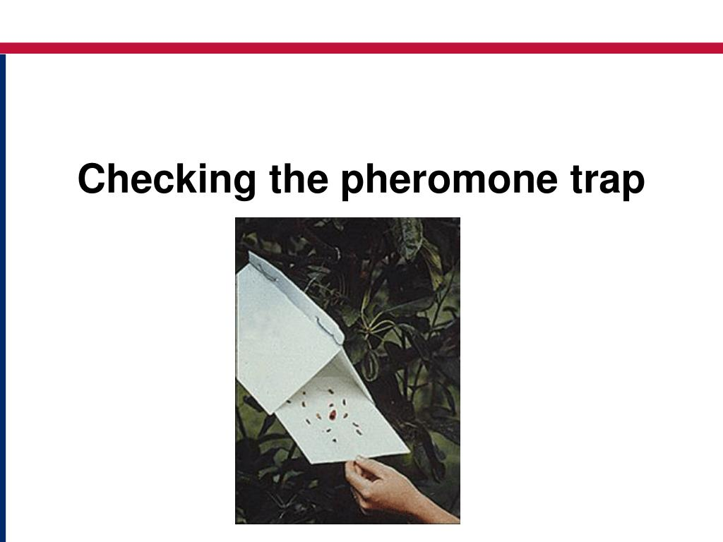 Checking the pheromone trap