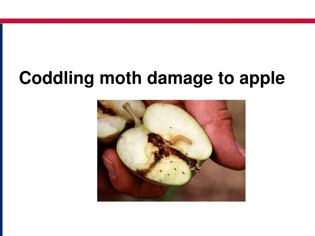 Coddling moth damage to apple