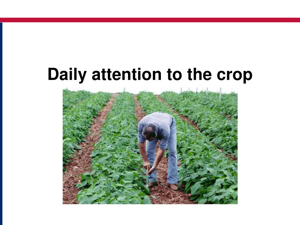 Daily attention to the crop
