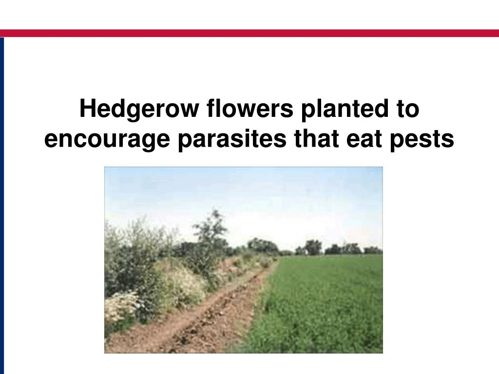 Hedgerow flowers planted to encourage parasites that eat pests