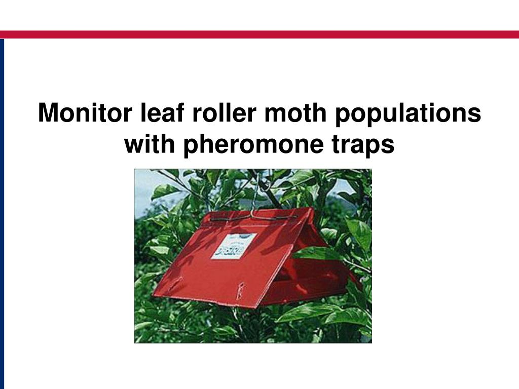 Monitor leaf roller moth populations with pheromone traps