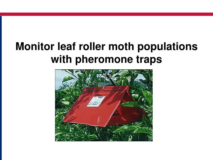 Monitor leaf roller moth populations with pheromone traps l.jpg