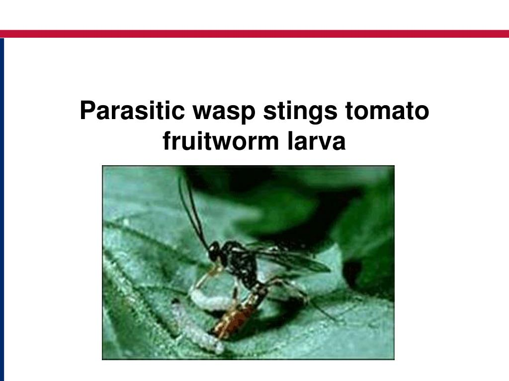 Parasitic wasp stings tomato fruitworm larva