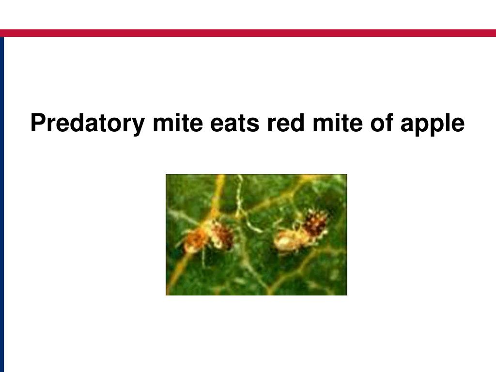Predatory mite eats red mite of apple