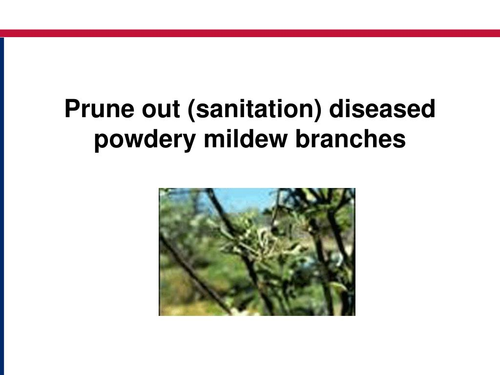 Prune out (sanitation) diseased powdery mildew branches