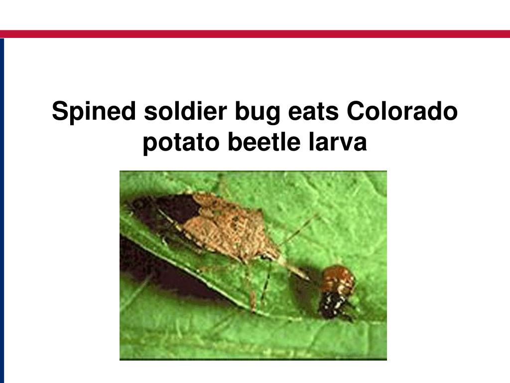 Spined soldier bug eats Colorado potato beetle larva