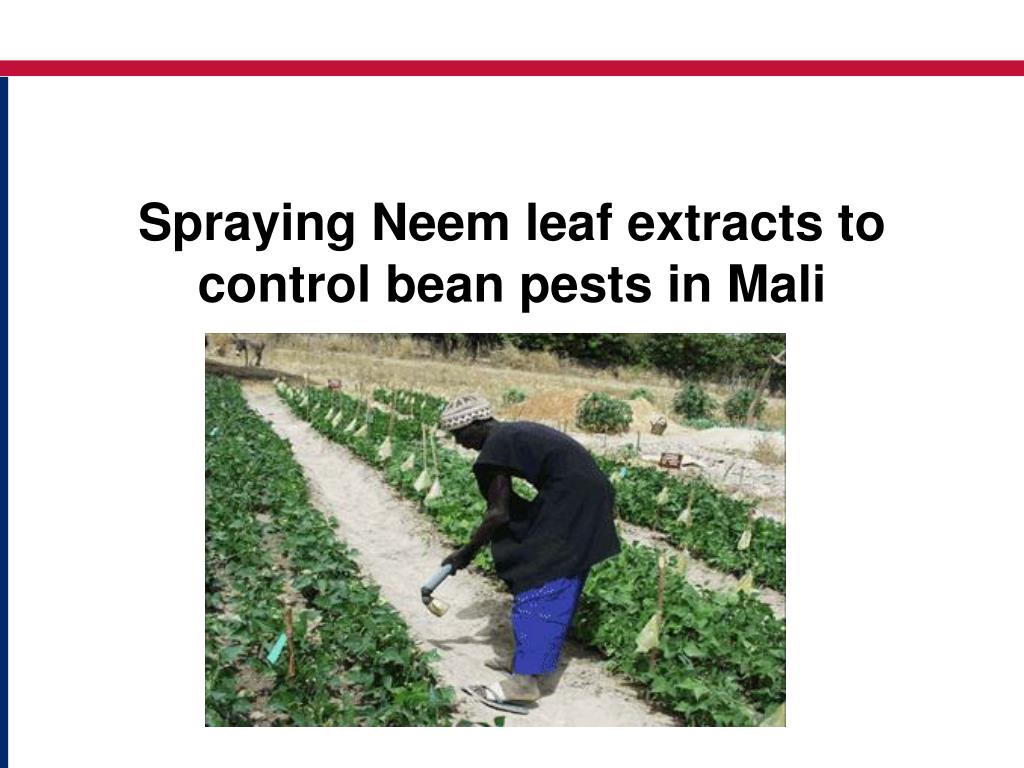 Spraying Neem leaf extracts to control bean pests in Mali
