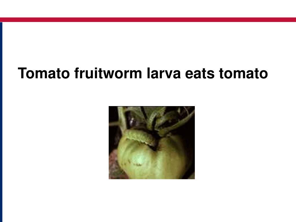 Tomato fruitworm larva eats tomato