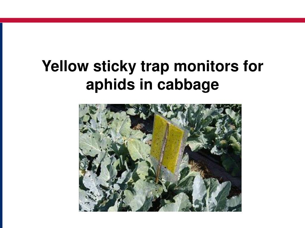 Yellow sticky trap monitors for aphids in cabbage