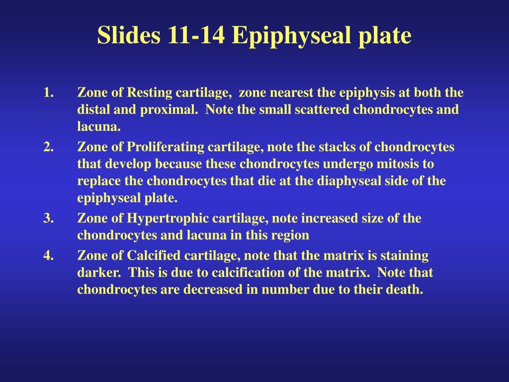 Slides 11-14 Epiphyseal plate