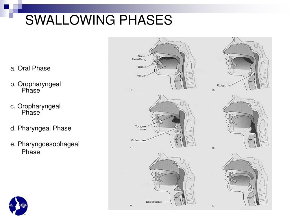 SWALLOWING PHASES