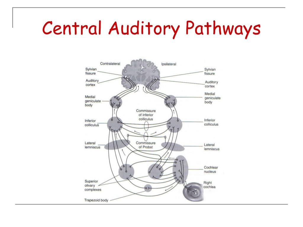 Central Auditory Pathways