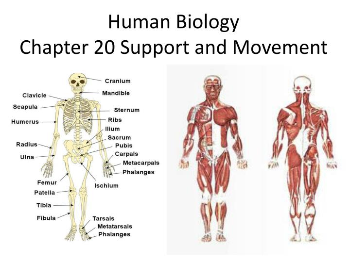Human biology chapter 20 support and movement