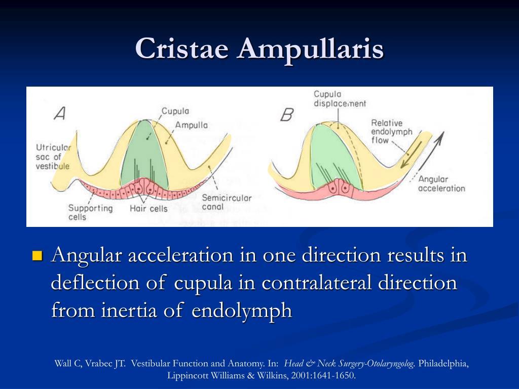Cristae Ampullaris