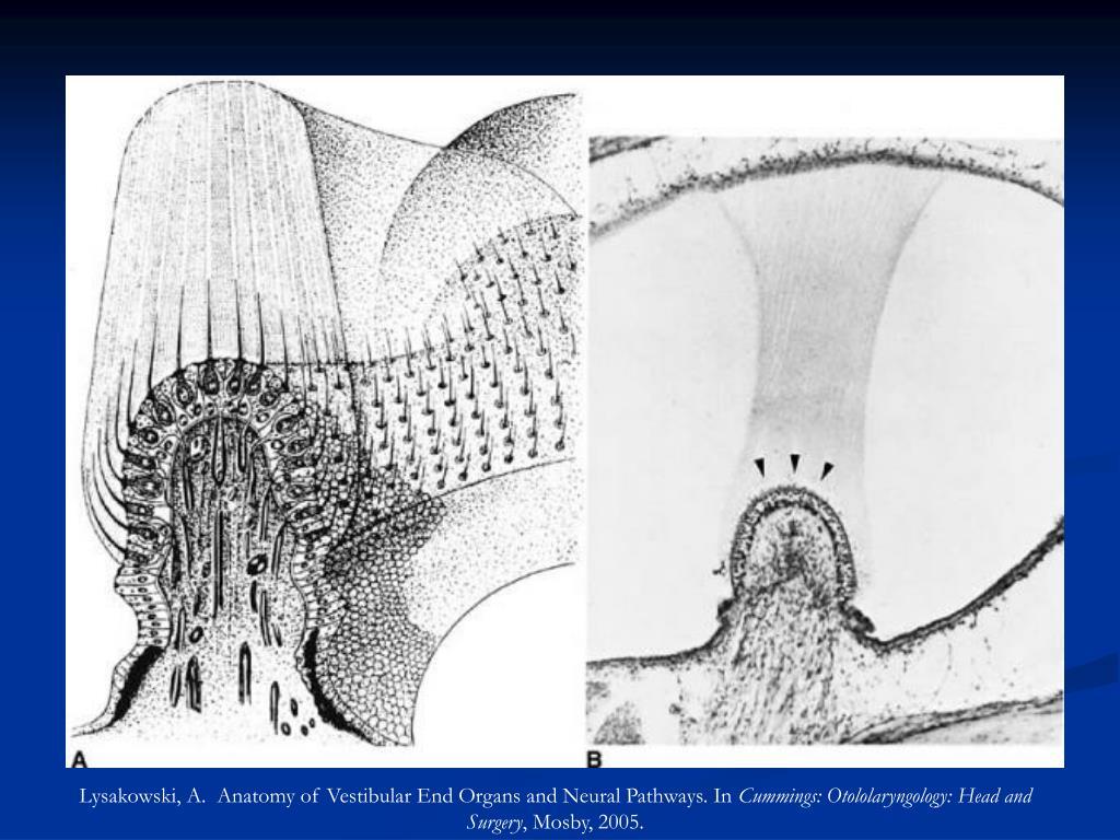 Lysakowski, A.  Anatomy of Vestibular End Organs and Neural Pathways. In