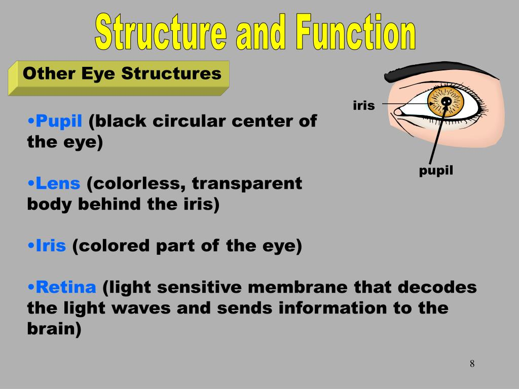Other Eye Structures