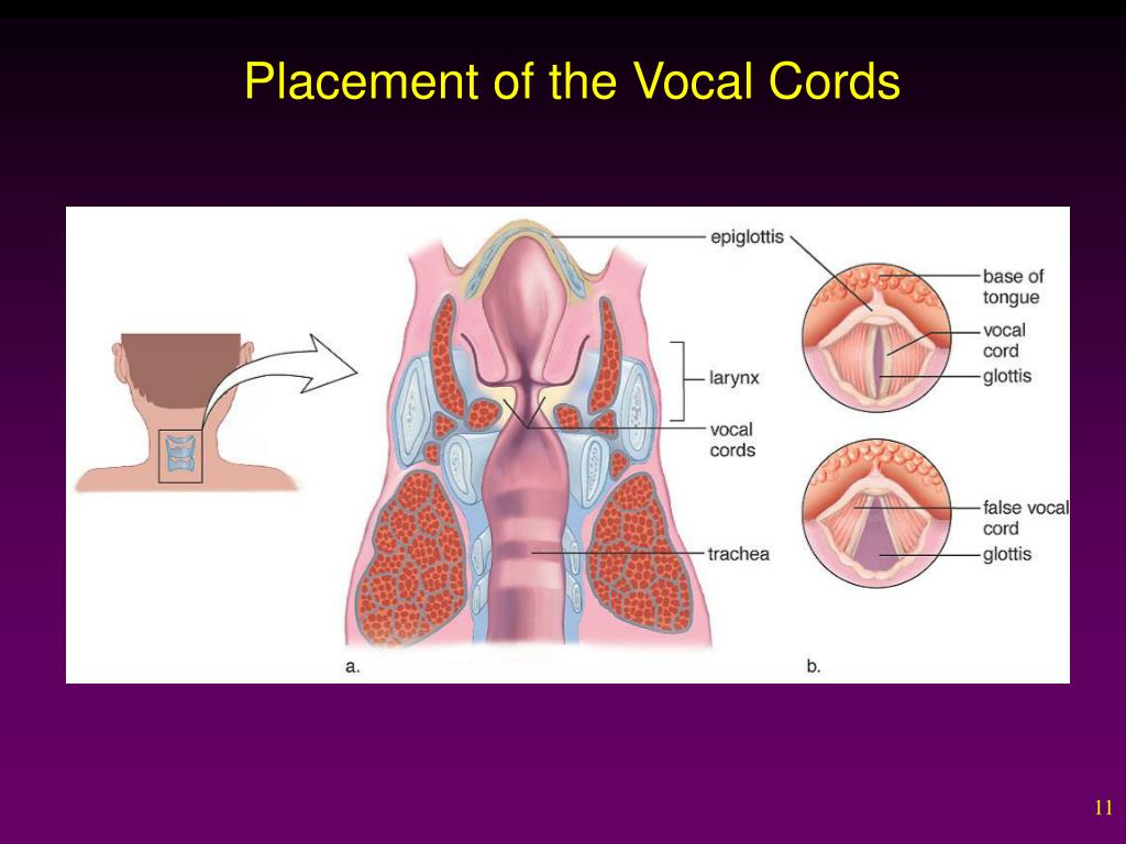 Placement of the Vocal Cords