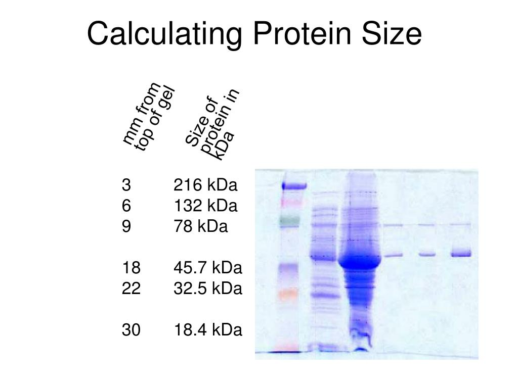 Size of protein in kDa