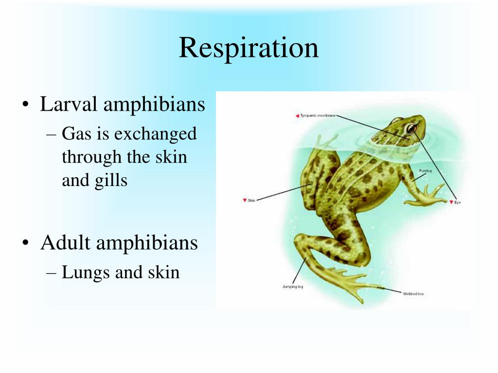 Don\'t believe the LIES about Respiration and circulation of amphibians