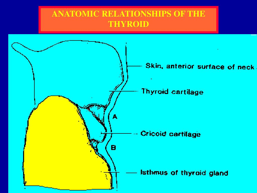 ANATOMIC RELATIONSHIPS OF THE THYROID