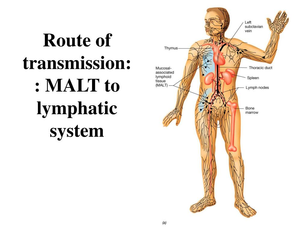Route of transmission:: MALT to lymphatic system