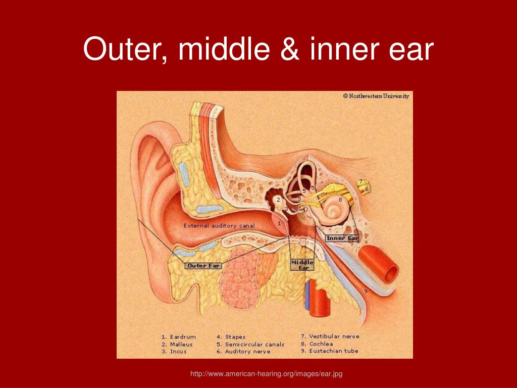 Outer, middle & inner ear