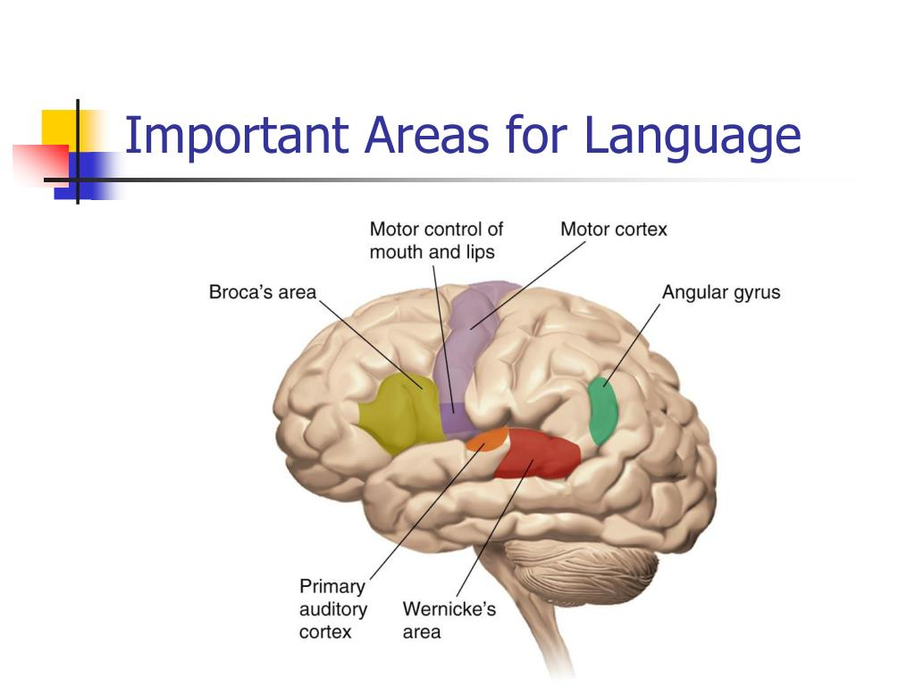 Important Areas for Language