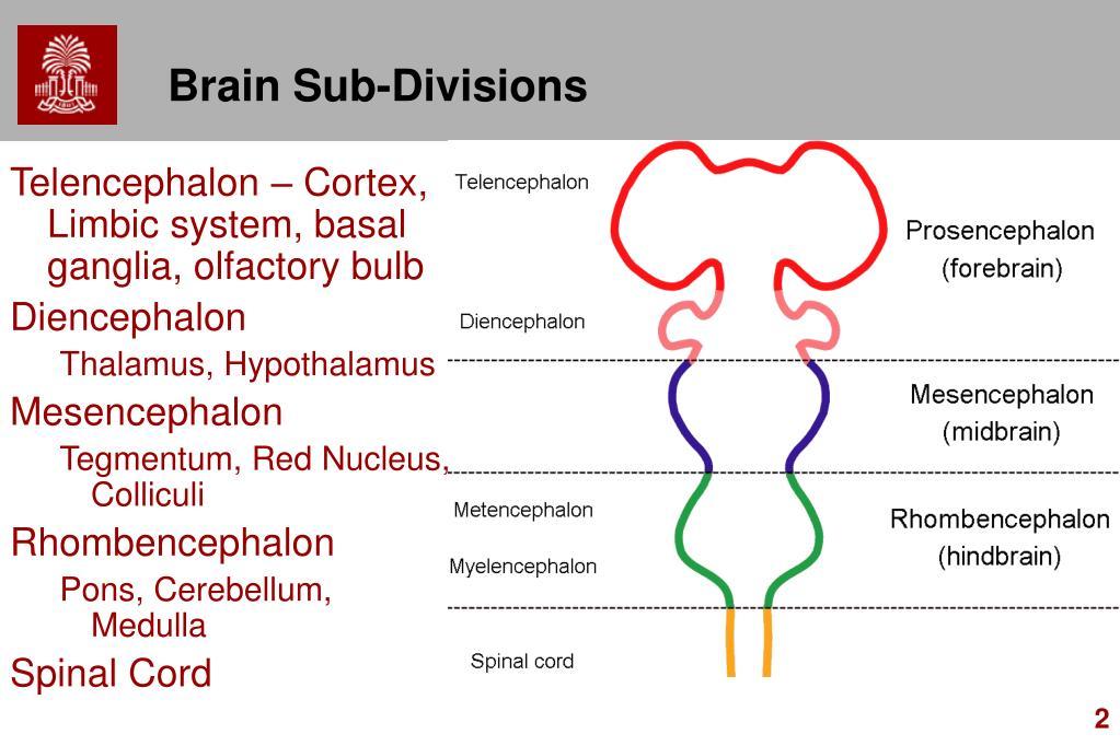 Brain Sub-Divisions
