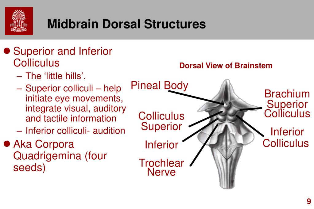 Midbrain Dorsal Structures