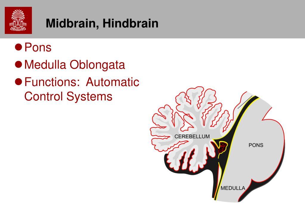 Midbrain, Hindbrain
