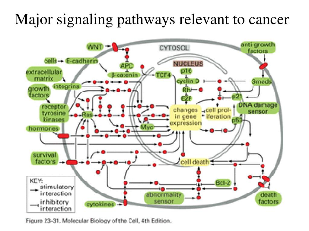 Major signaling pathways relevant to cancer