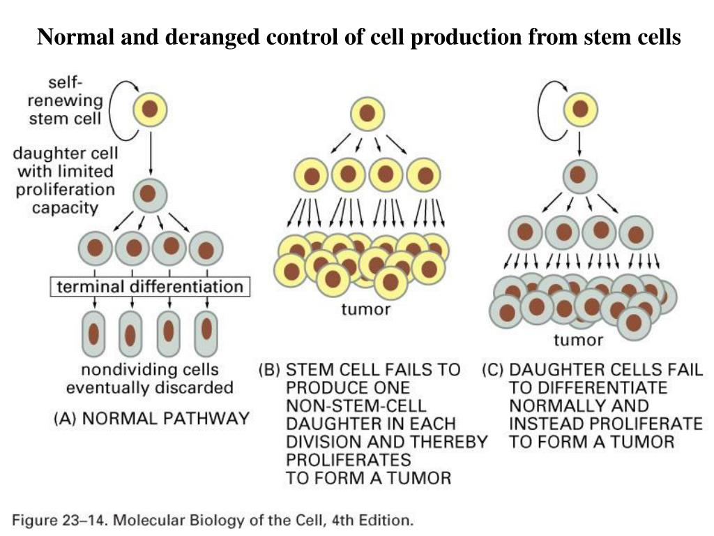 Normal and deranged control of cell production from stem cells