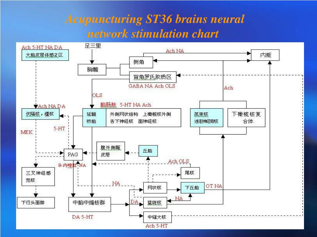 Acupuncturing ST36 brains neural