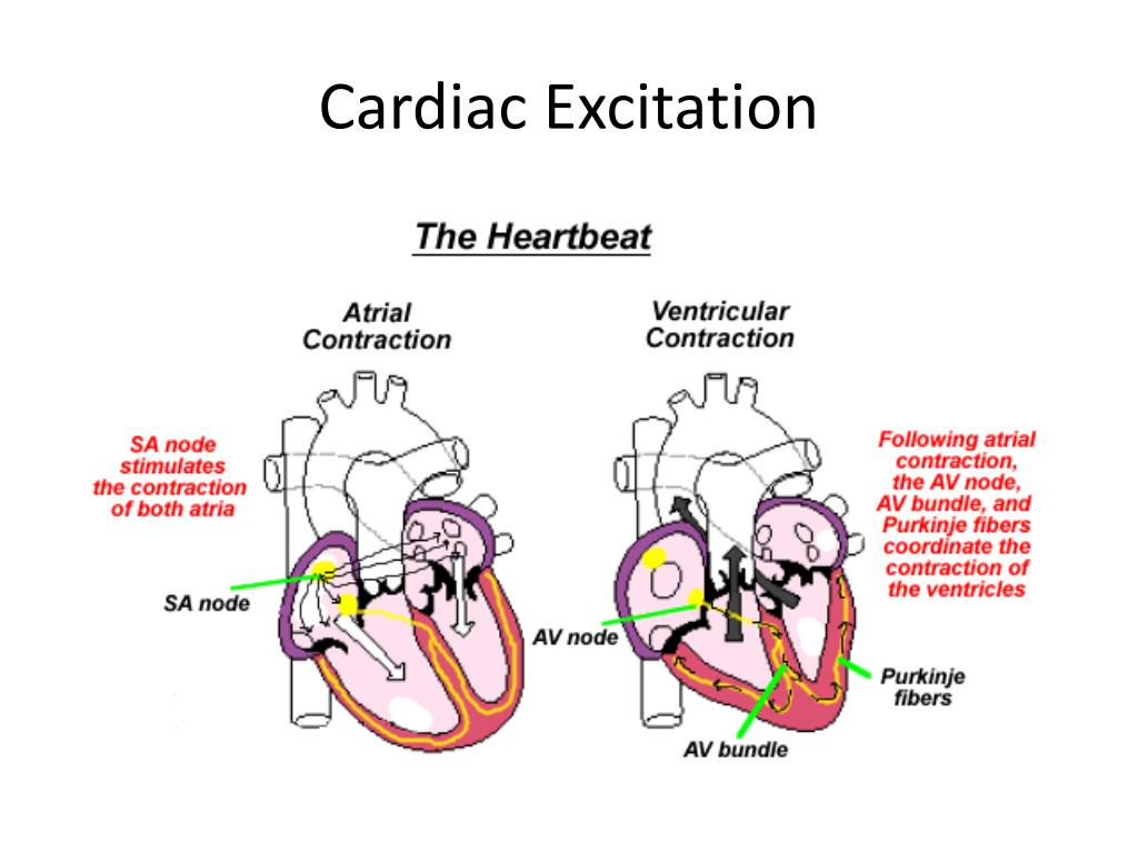 Cardiac Excitation