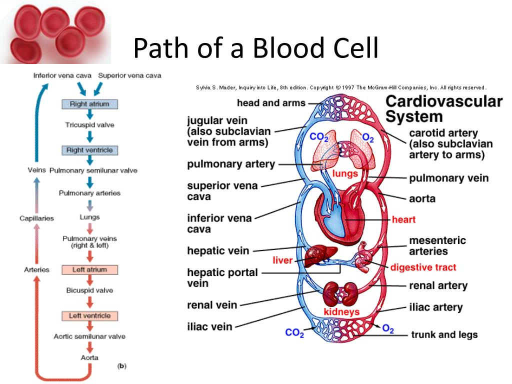 Path of a Blood Cell