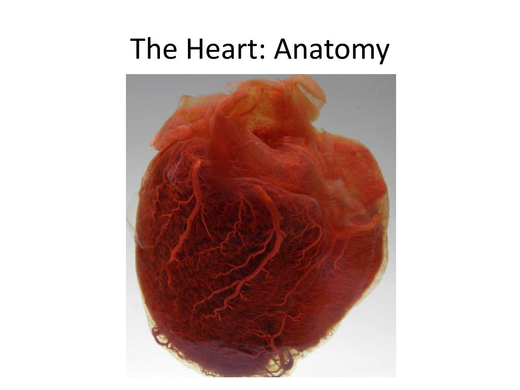 The Heart: Anatomy