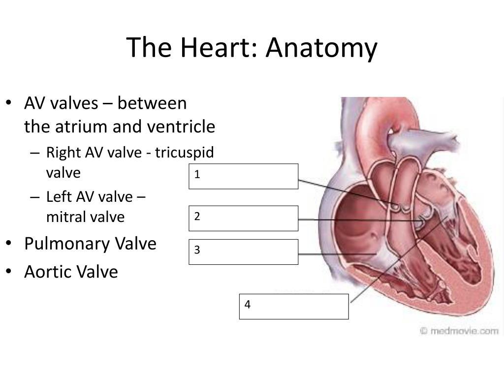 The Heart: Anatomy