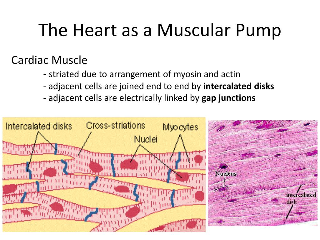 The Heart as a Muscular Pump