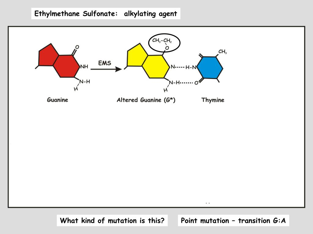 Ethylmethane Sulfonate:  alkylating agent