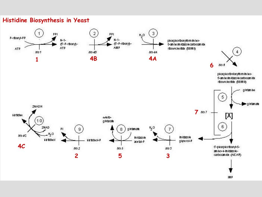 Histidine Biosynthesis in Yeast
