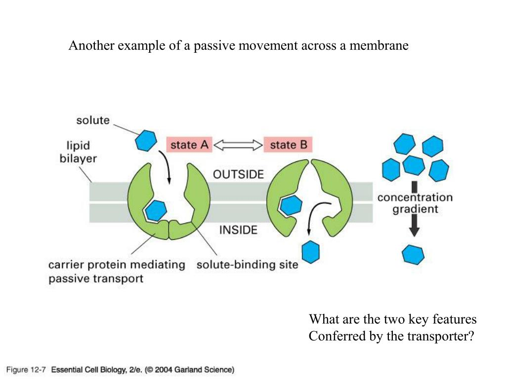 Another example of a passive movement across a membrane