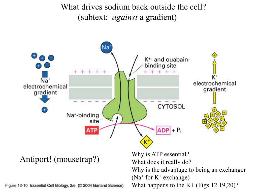 What drives sodium back outside the cell?