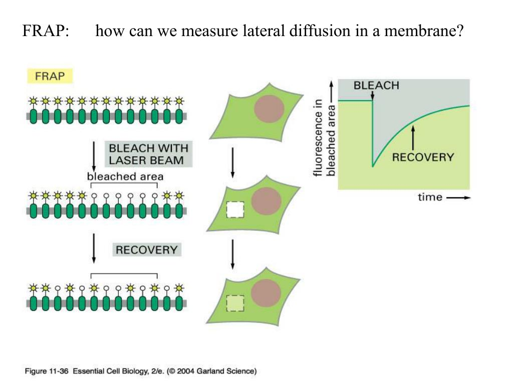 FRAP:      how can we measure lateral diffusion in a membrane?