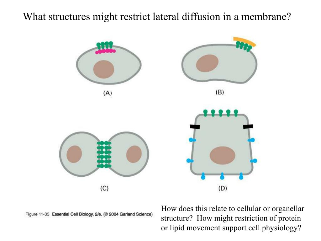 What structures might restrict lateral diffusion in a membrane?