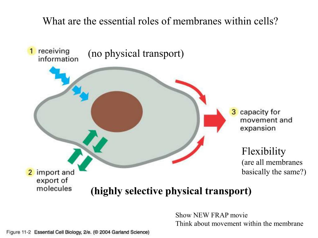 What are the essential roles of membranes within cells?