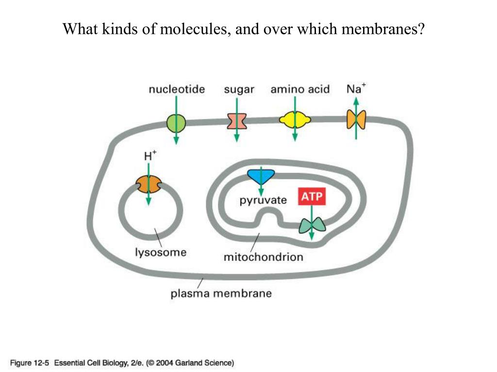 What kinds of molecules, and over which membranes?