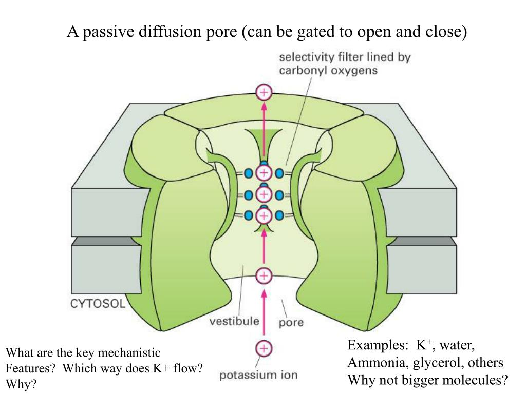 A passive diffusion pore (can be gated to open and close)