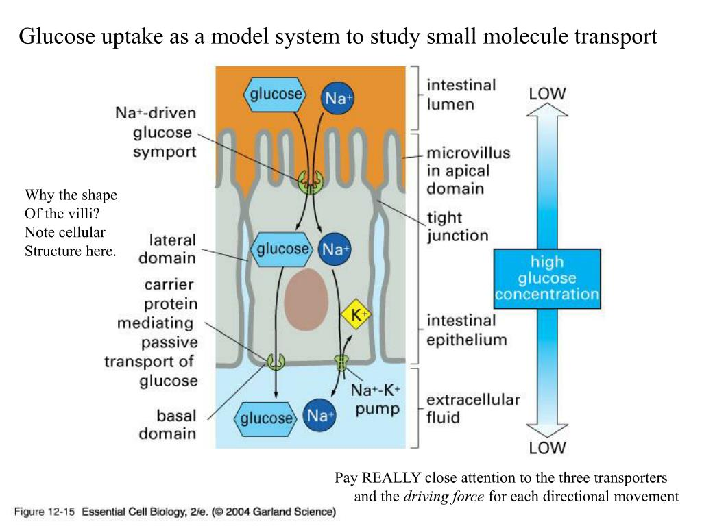 Glucose uptake as a model system to study small molecule transport