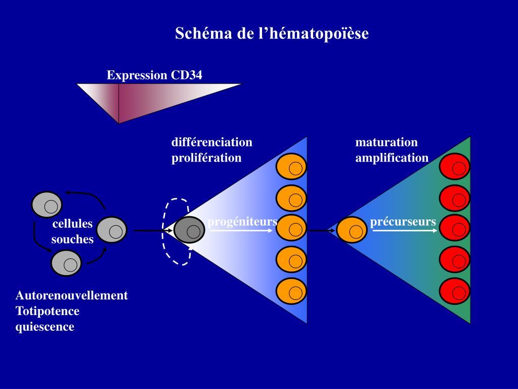 Schéma de l'hématopoïèse