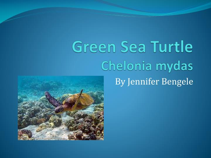 Green sea turtle chelonia mydas l.jpg
